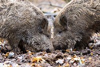 Wild boar Wild board Sus scrofa scratching off. Picardy, France. Scratch off means digging the soil in surface to search for Worms or larvae.