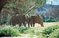 Elephants, picture taken in the Damaraland in Palwag in the province of Erongo in Namibia. Loxodonta sp  Elephant  Elephantid  Mammal