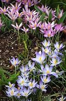 Crocus Patch. Crocus tommasinianus Barr´s Purple and crocus tommasinianus roseus . March 2008, Maryland, USA