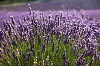 France  Provence  Lavender fields