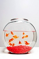 Gold Fish in Fish Bowl