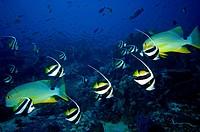 Longfin bannerfish Heniochus intermedius Komodo Indonesia