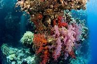 Coral reef scene Shaab Rumi Sudan