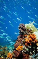 Soft corals Komodo Indonesia