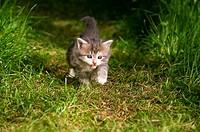 Maine Coon cat _ kitten four weeks walking on meadow