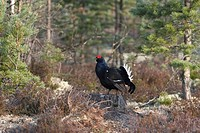 blackcock, Lyrurus tetrix