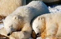 Two young Polar Bears (Ursus maritimus), cubs, sleeping, at Hudson Bay, Canada, North America