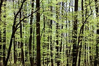 Beech and birch grove, Vosges mountains forest, Lorraine, France