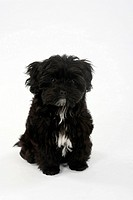 Bolonka Zwetna, puppy, 12 weeks, Tsvetnaya Bolonka