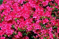 Rhododendron cultivar Gabriele, Azalea, (Rhododendron cultivar Gabriele)