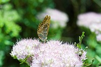 Variegated Fritillary euptoieta claudia butterfly and bee on purple flower