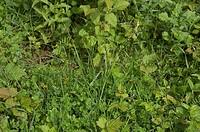 Spiked Sedge Carex spicata _ Lanaye, Liege, Wallonia, Belgium, Europe