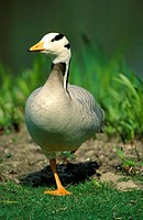 Bar headed Goose,Anser indicus,Mannheim,Germany,adult