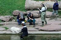 Flocke, polar bear cub (Ursus maritimus), young, female, Tierpark Nuremberg, Nuremberg Zoo, Germany, Europe