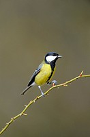 Great Tit (Parus major) perched on the branch of a rose hip tree