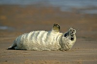 , UK newborn grey seal pub, halichoerus grypus, lying on sand bank stretching it's fins Donna Nook, Lincolnshire Coast, England, UK