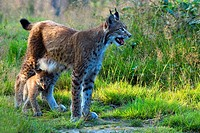 Lynx (Lynx lynx) with kitten