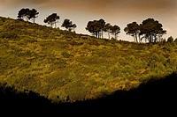Aleppo Pine (Pinus halepensis)