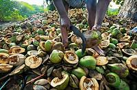 Coconuts, Pondicherry. Tamil Nadu, India