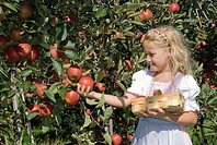 little girl reaping apples