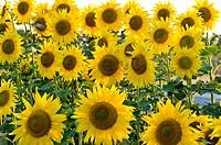 Sunflowers, Costa Brava, Catalunya, Spain