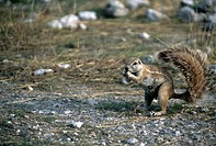 Ground squirrel (Xerinae), Etosha National Park, Namibia, Africa