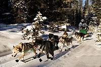 Sled dog team with musher in winter forest, Yukon Territory, Canada