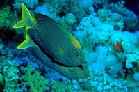 Starry rabbitfish Siganus stellatus, Red Sea.
