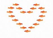 Goldfish, Carassius auratus auratus, studio, symbol, symbolic, white, orange, goldfish, symbol, concept, together, aff