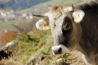 Male cattle, Puster Valley, South Tyrol, Italy