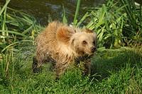 Brown bear (Ursus arctos arctos), pup, shaking the water out of his fur