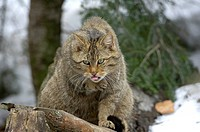 Europian wildecat, Felis sylvestris