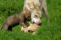 European young wolves (canis lupus)