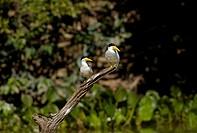 Rynchops niger, Pantanal, Brasil