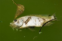 Dead fish, Costa Rica, Central America