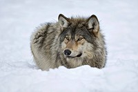 Eastern Timber Wolf (Canis lupus lycaon)