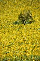 High angle view of a field of sunflowers in Gascoigne Gascony in the Midi_Pyrenees, France, Europe