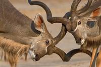 Greater Kudus, males, Chobe national park, Botswana, Tragelaphus strepsiceros