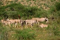 Oryx, Samburu National Reserve, Kenya, East Africa, Africa