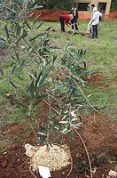 Newly planted young olive tree, with family planting tree in the background during Tu Bishvat, Jewish Festival of Trees, Museum of Nature, Jerusalem, ...