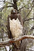 Martial eagle Polemaetus bellicosus, Kgalagadi Transfrontier Park, encompassing the former Kalahari Gemsbok National Park, South Africa, Africa