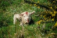 Lamb, Devon, England, United Kingdom, Europe