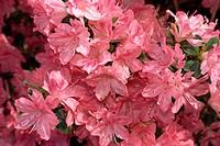 Close_up of azalea flowers, Blaaws Pink, taken in May in Devon, England