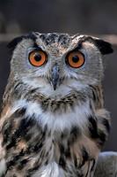 European eagle owl Bubo Bubo, New Forest Owl Sanctuary, England, United Kingdom, Europe