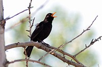 A male Blackbird Turdus merula singing