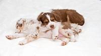 Australian Shepherd dog _ two puppies _ lying restrictions: animal guidebooks, calendars