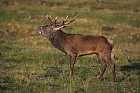 Red deer stag, roaring in the rut, captive at Highland Wildlife Park, Kingussie, Scotland, United Kingdom, Europe