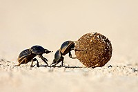 Two dung beetles rolling a dung ball, Addo Elephant National Park, South Africa, Africa