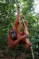 Some orang_utans in the Bohorok forest Bukit Lawang Sumatra Indonesia