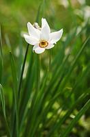Poet´s Daffodil in a meadow in spring, Pyrenees, Spain